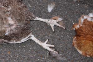 Chicken's head left on spike by allotment raiders